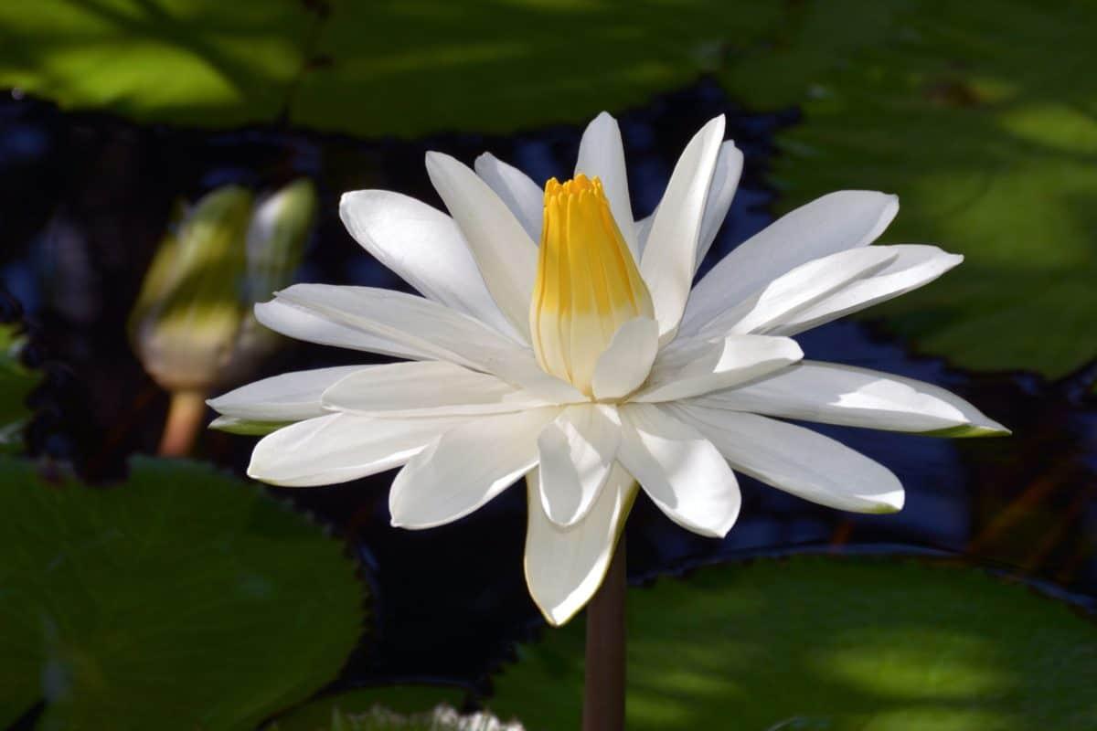 Lotus, flora, acuáticos, naturaleza, hoja, nenúfar, flor blanca