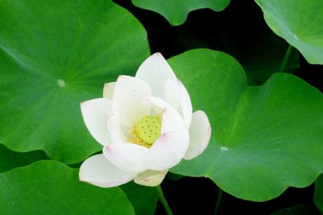 nature, lotus, leaf, wildflower, garden, summer, lotus, flora