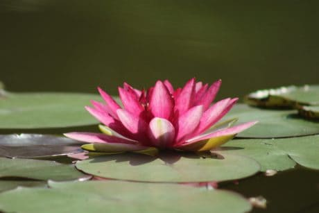 natura, lotus, waterlily, esotico, foglia, fiore, waterlily, flora