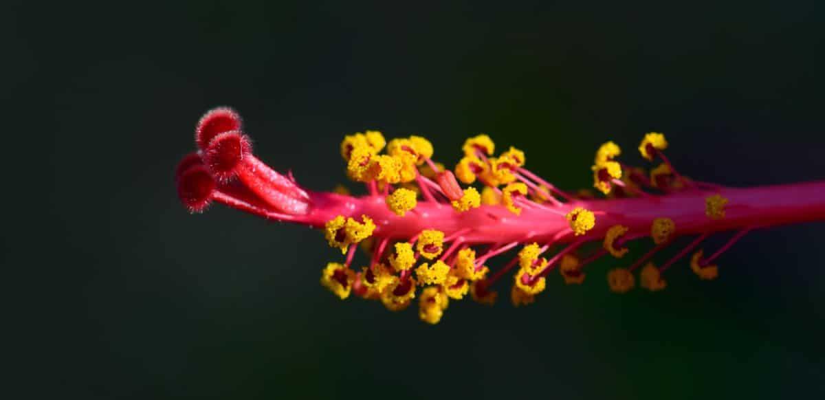 Kembang Sepatu, sifat, bunga, flora, makro, tanaman