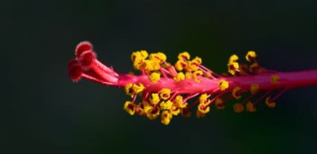 Hibiscus, thiên nhiên, Hoa, thực vật, vĩ mô, thực vật