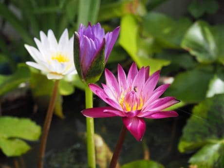 garden, lotus, waterlily, leaf, nature, flora, summer, wildflower