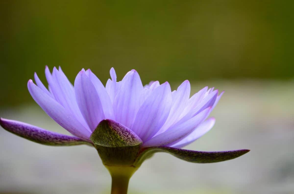 флора, природа, wildflower, листа, Градина, lotus, венчелистче, розово, растение, цъфти