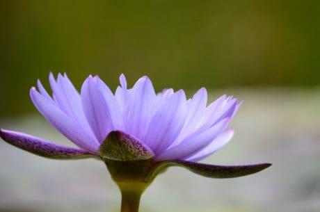Flora, Natur, Wildblumen, Blatt, Garten, Lotus, Blütenblatt, rosa, Pflanze, Blüte