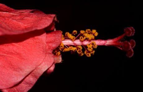 hibiskus, makro, pistill, flora, löv, natur, blomma, kronblad, växt, rosa