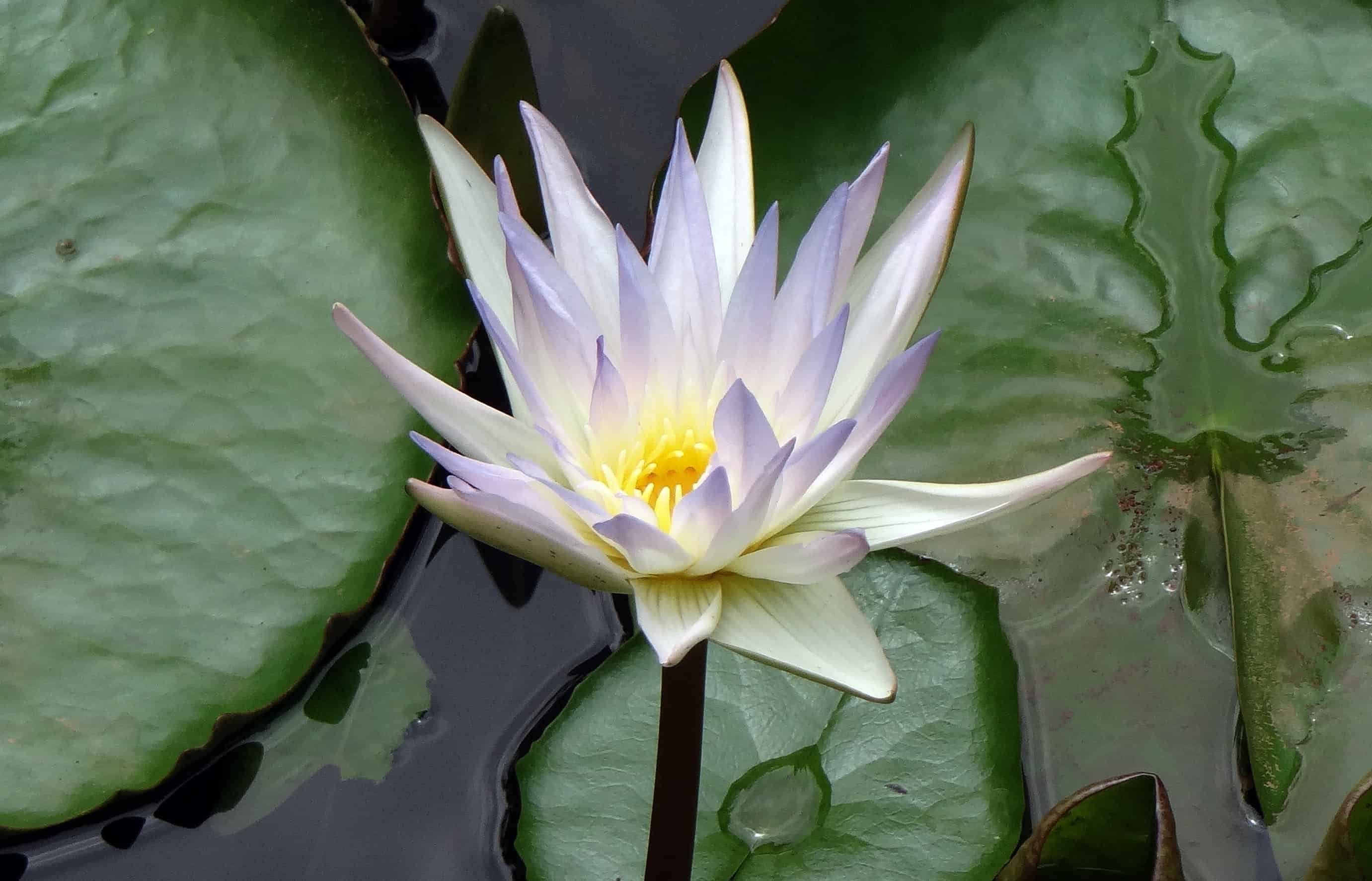 Free Picture Exotic Lily Flora Leaf Waterlily Lotus Flower