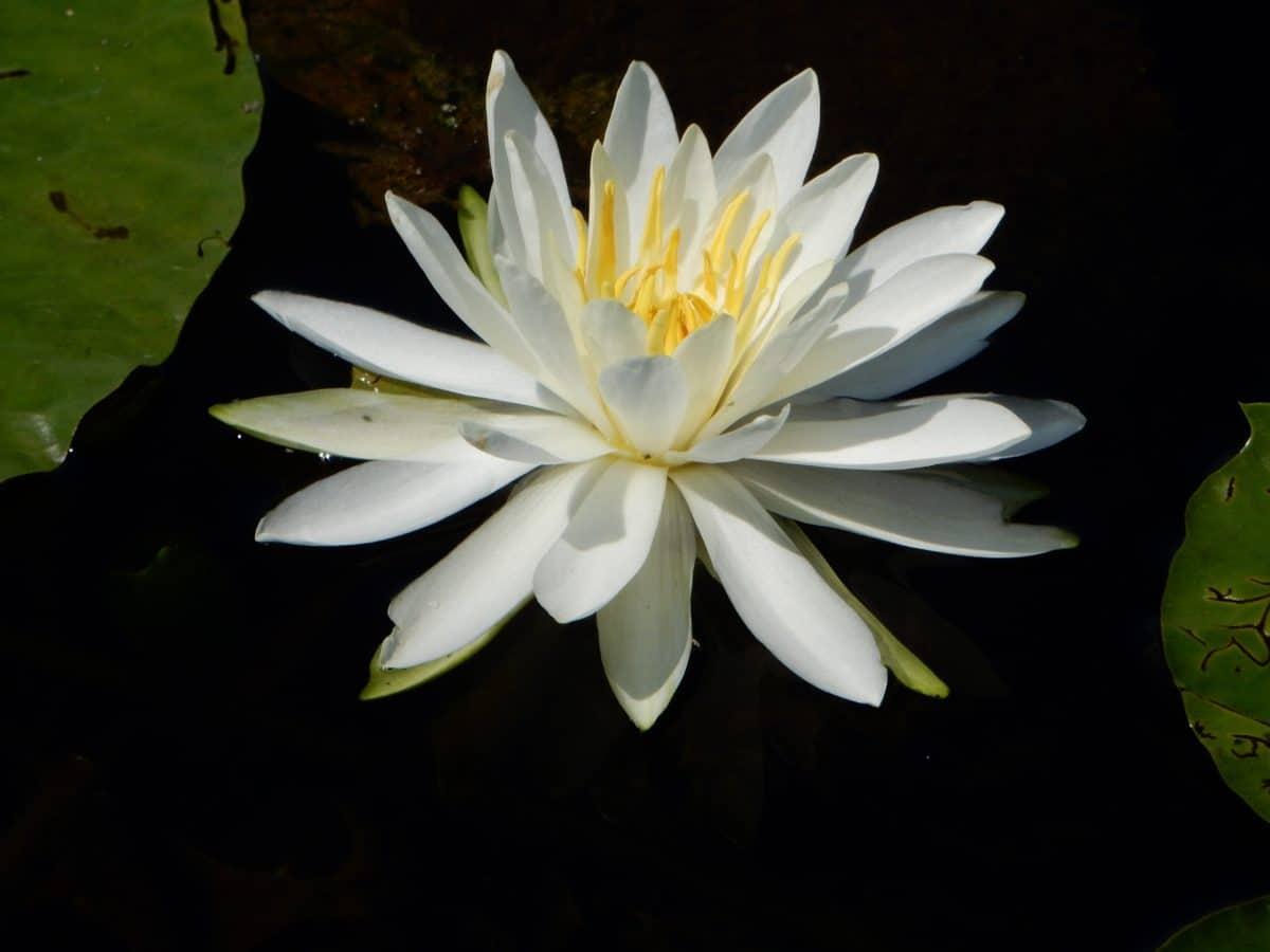 Flora, loto, foglia, petalo, bianco, fiore, orticoltura, waterlily, natura