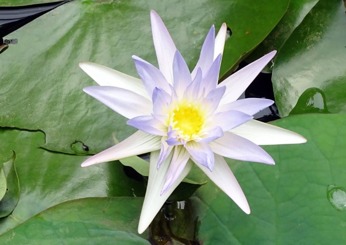 Blatt, Sommer, exotisch, Lotus, weiße Blume, Flora, Seerose, Natur