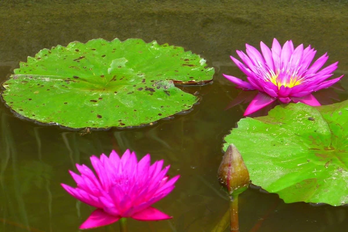 fleur, flore, nature, lotus, nénuphar, feuille, aquatique