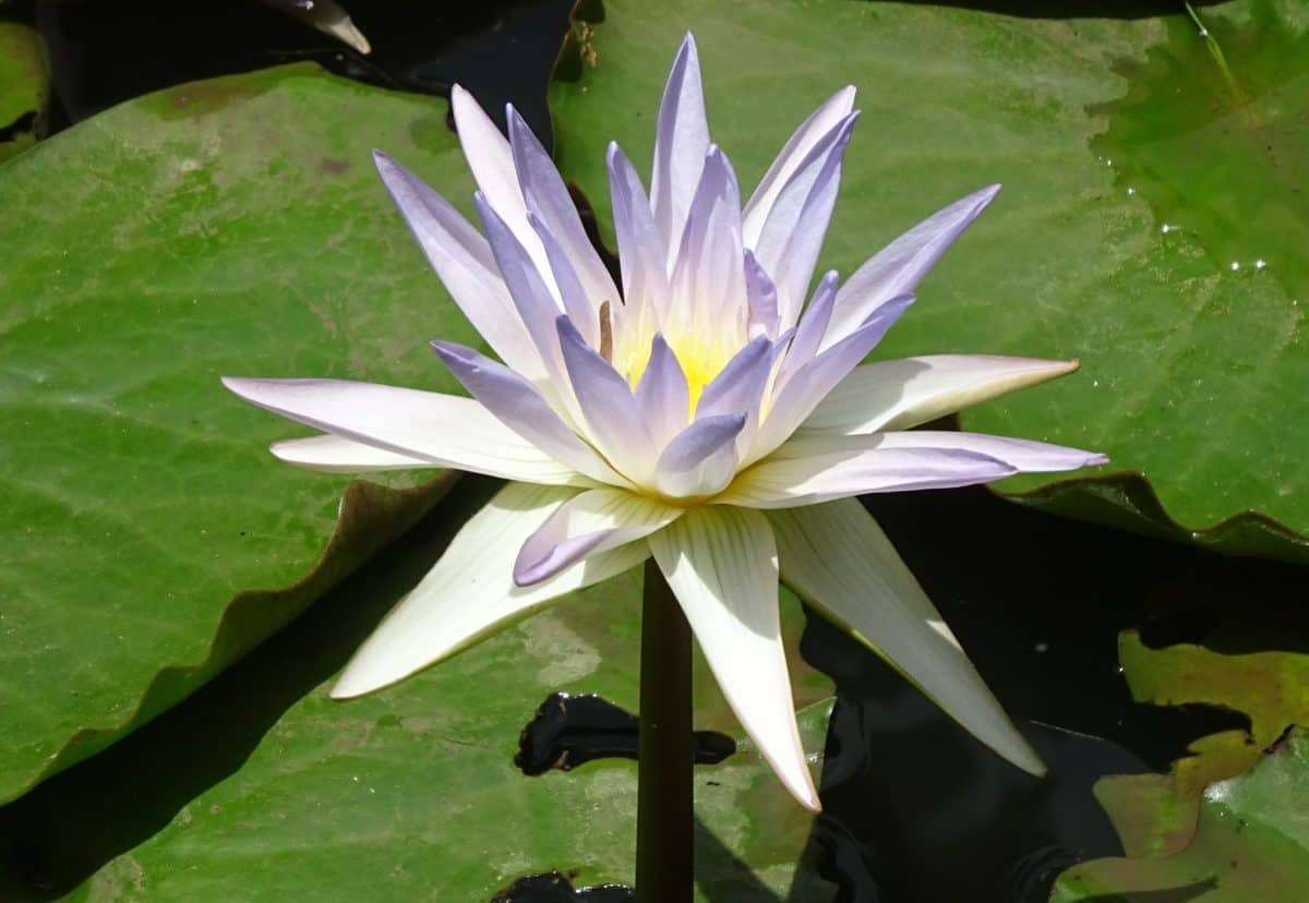 waterlily, aquatic, leaf, flora, horticulture, lotus, exotic, flower