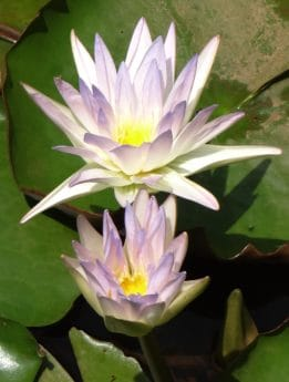 exotic, leaf, lotus, nature, waterlily, white, lotus, flower, flora