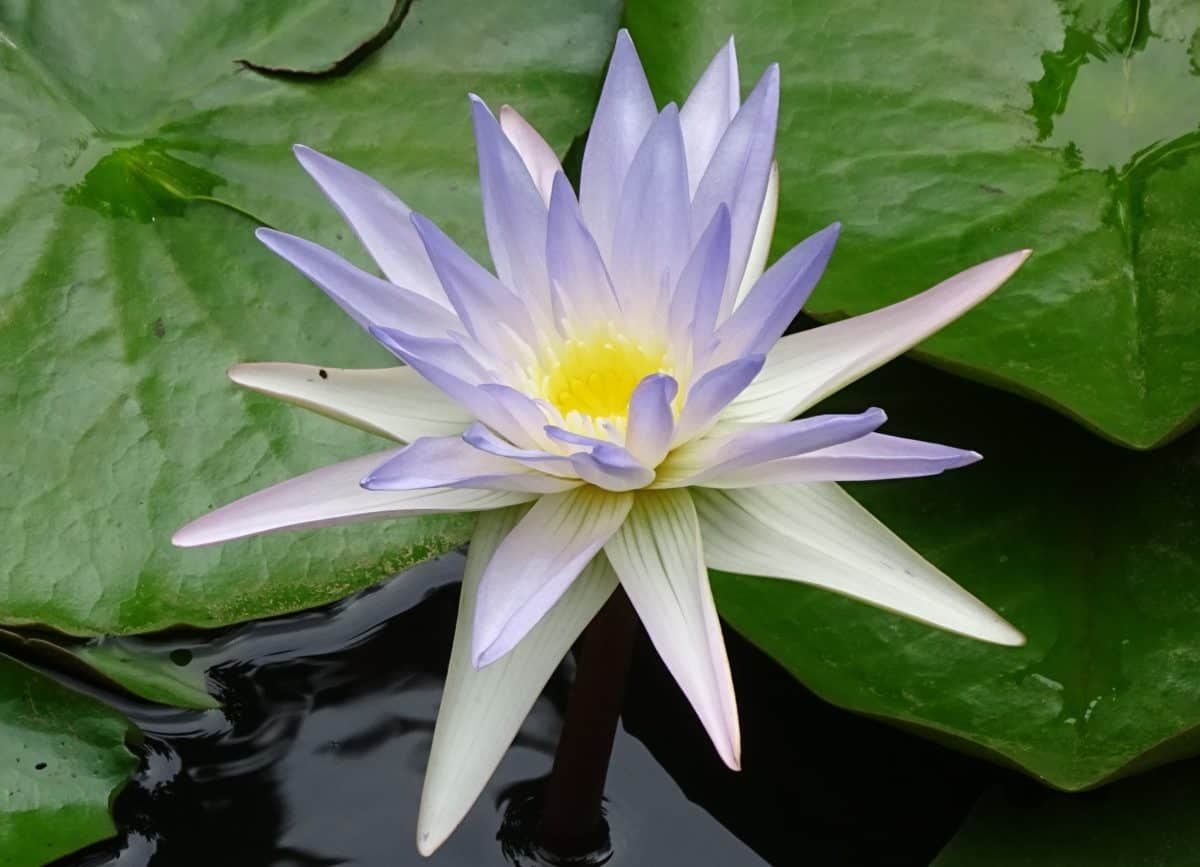 fleurs, feuilles, lotus, flore, jardin, nature, nénuphar, été