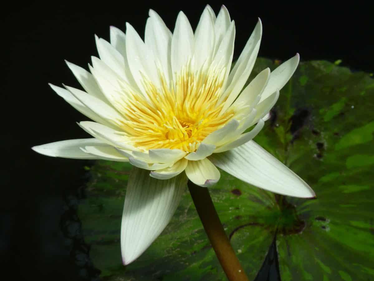 aquatic, horticulture, leaf, flower, lotus, flora, nature, waterlily