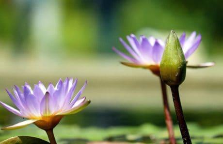 nénuphar, nature, exotique, lily, feuilles, lotus, fleur, aquatique