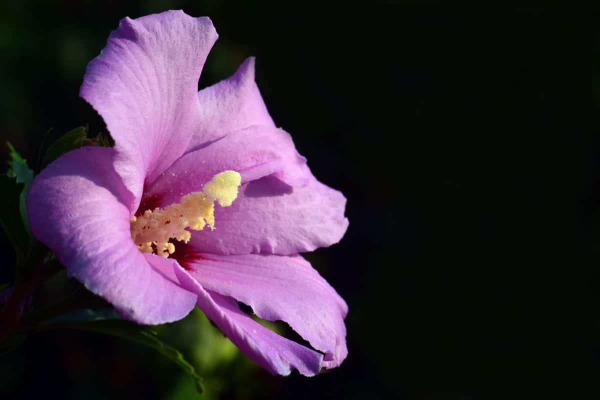 naturaleza, flor, pistilo, macro, planta, rosa, flor, jardín, Pétalo, flor