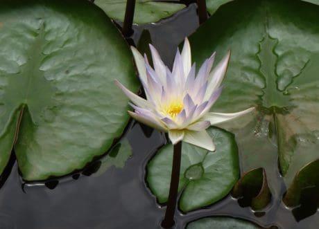 이국적인, 원 예, 자연, 수련, 잎, 꽃, 식물, 로터스, 수생