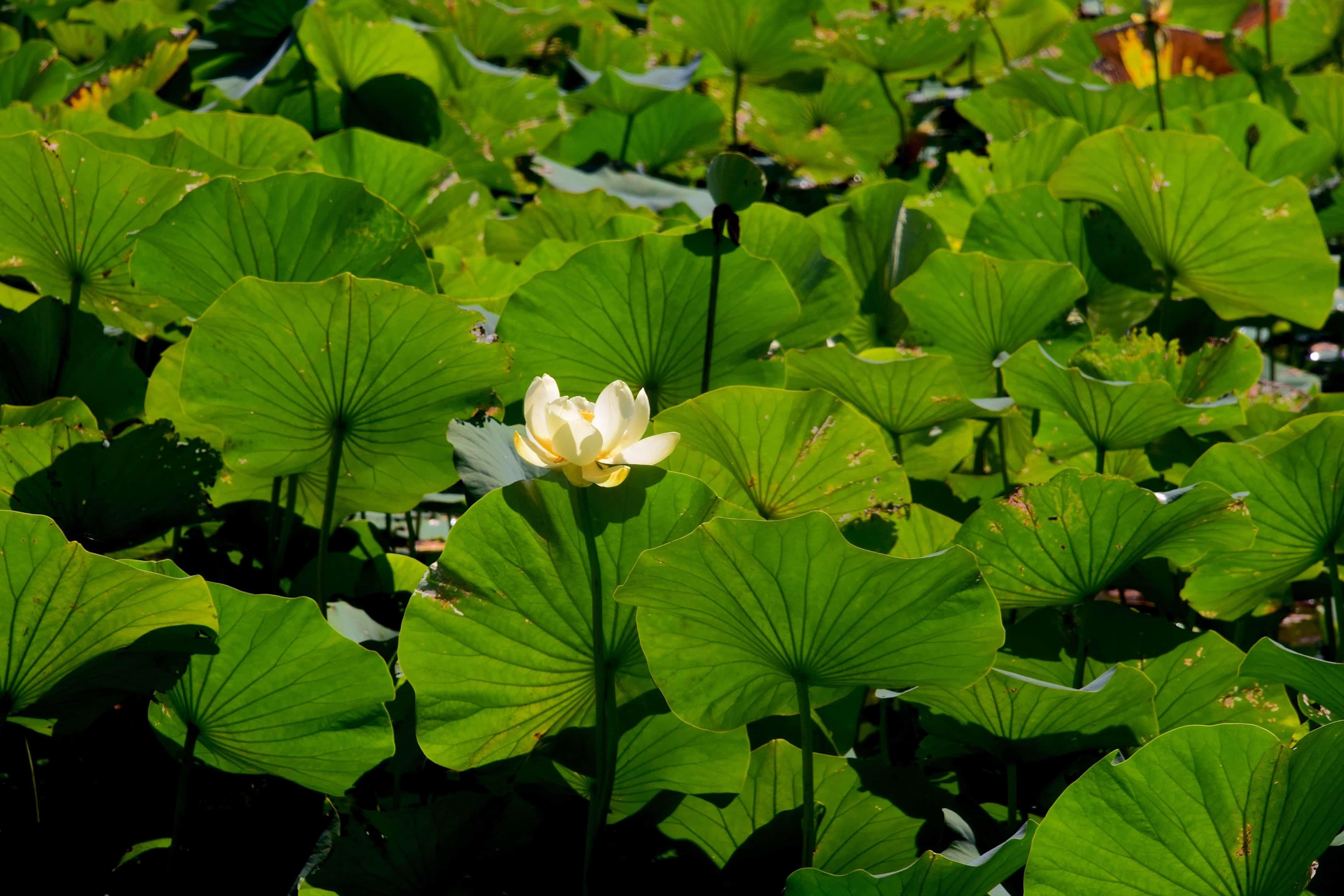 Imagen Gratis Flora Ex Tico Hoja De Nen Far Jard N Naturaleza  # Muebles Nenufar