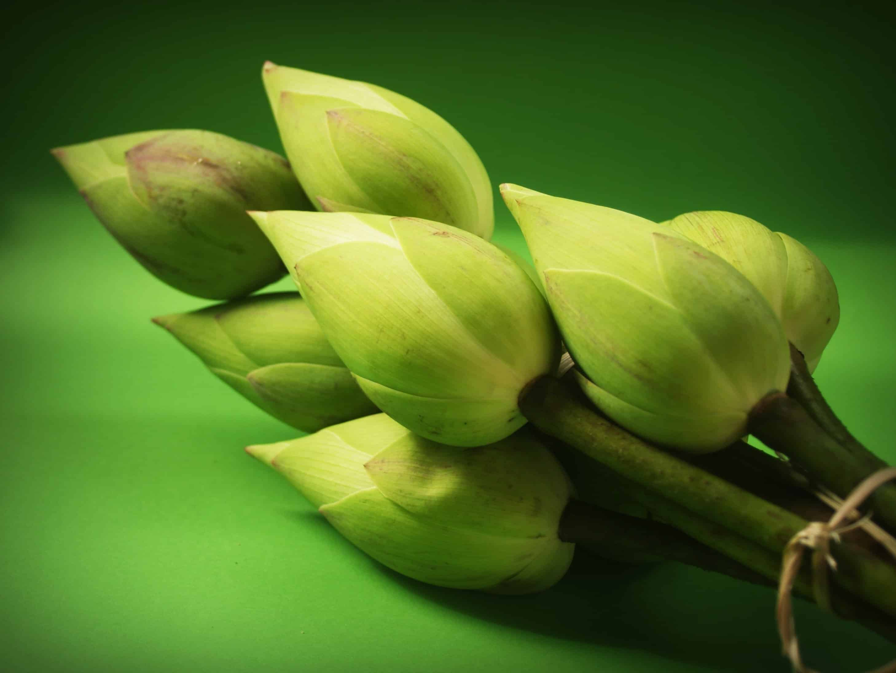 Free picture nature flower bud lotus flora leaf nature flower bud lotus flora leaf izmirmasajfo