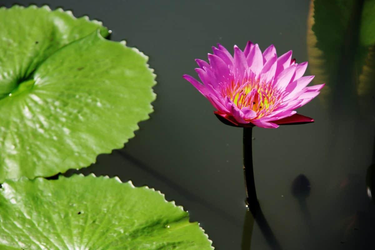 Gartenbau, Flora, Blatt, Blume, Lotus, Natur, Sommer, rosa, Pflanze, Blüte