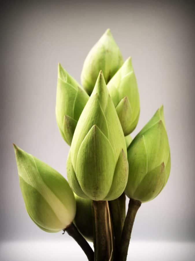 nature, flore, feuille, fleur, nénuphar