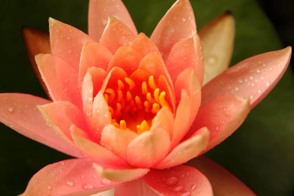horticulture, pistil de macro, nature, fleur, flore, lotus, plante, pétale, rose