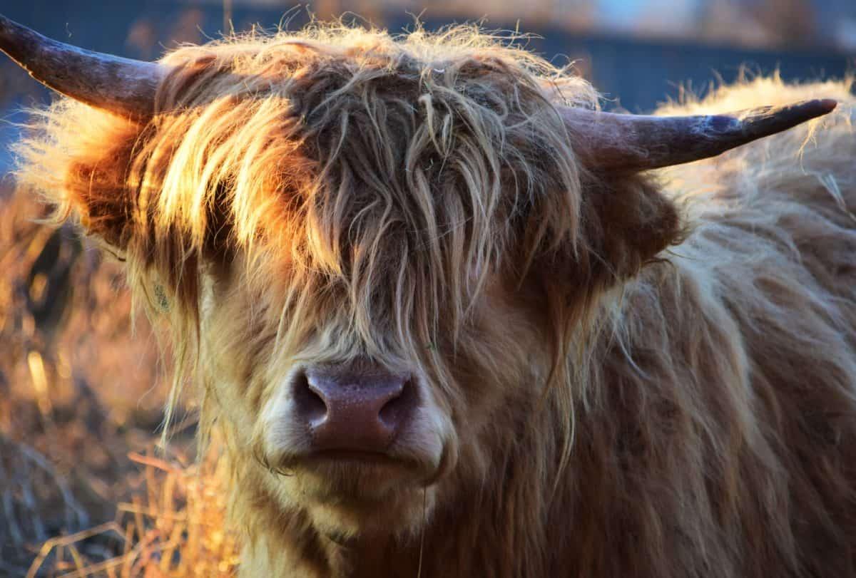 Tier, Pelz, Porträt, Tiere, Kuh, braun