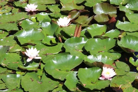 leaf,wildflower, lotus, waterlily, environment, aquatic, flora