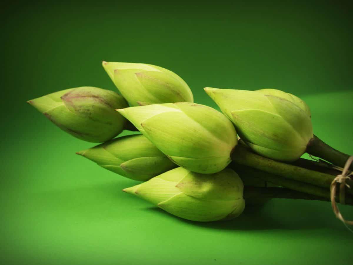 Lotus, germoglio di fiore, foglia, natura, flora, verde, wildflower