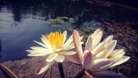 summer, flora, lotus, nature, waterlily, leaf, white flower