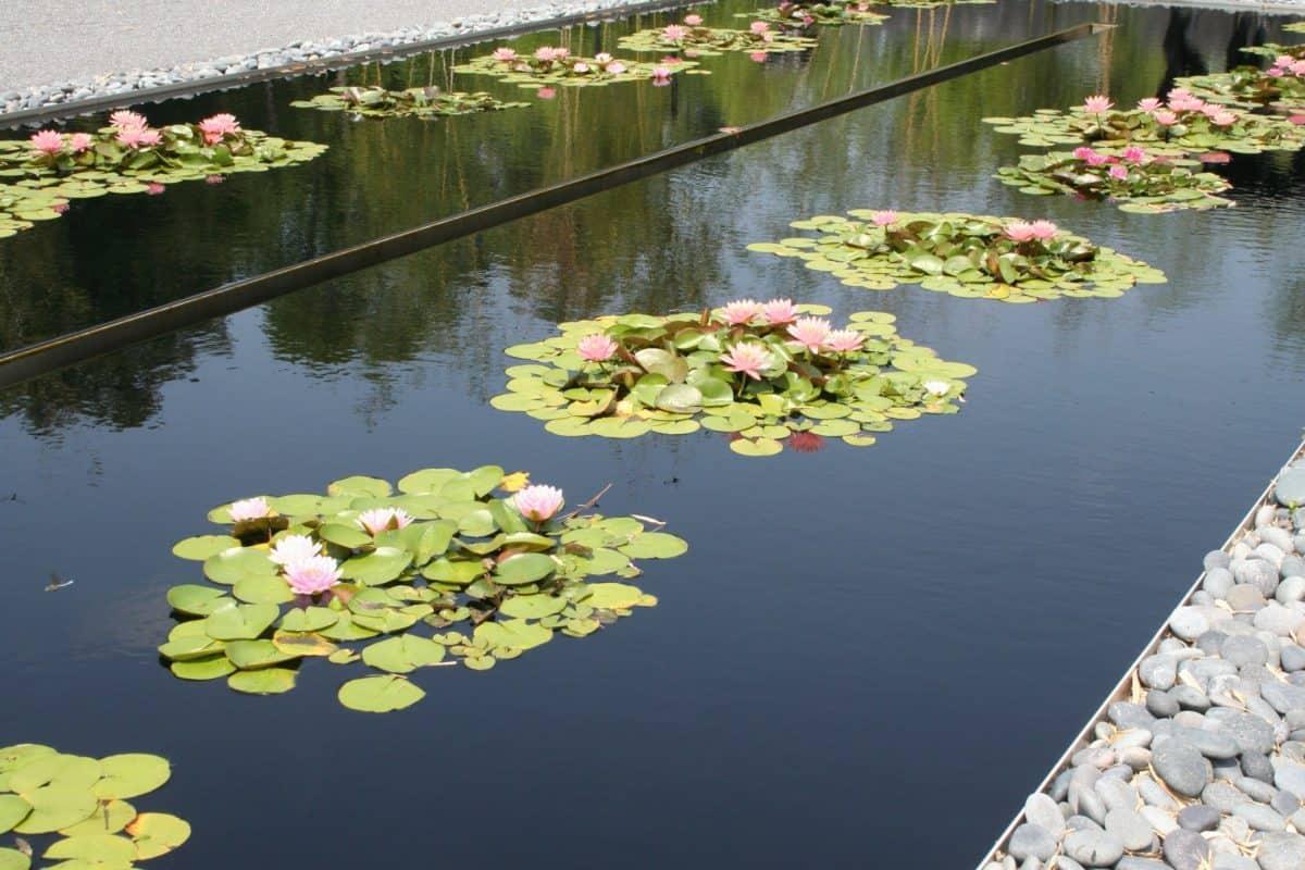nature, réflexion, jardin, eau, lotus, fleur, feuille