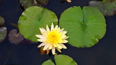 aquatic, waterlily, flower, lotus, flora, nature, leaf