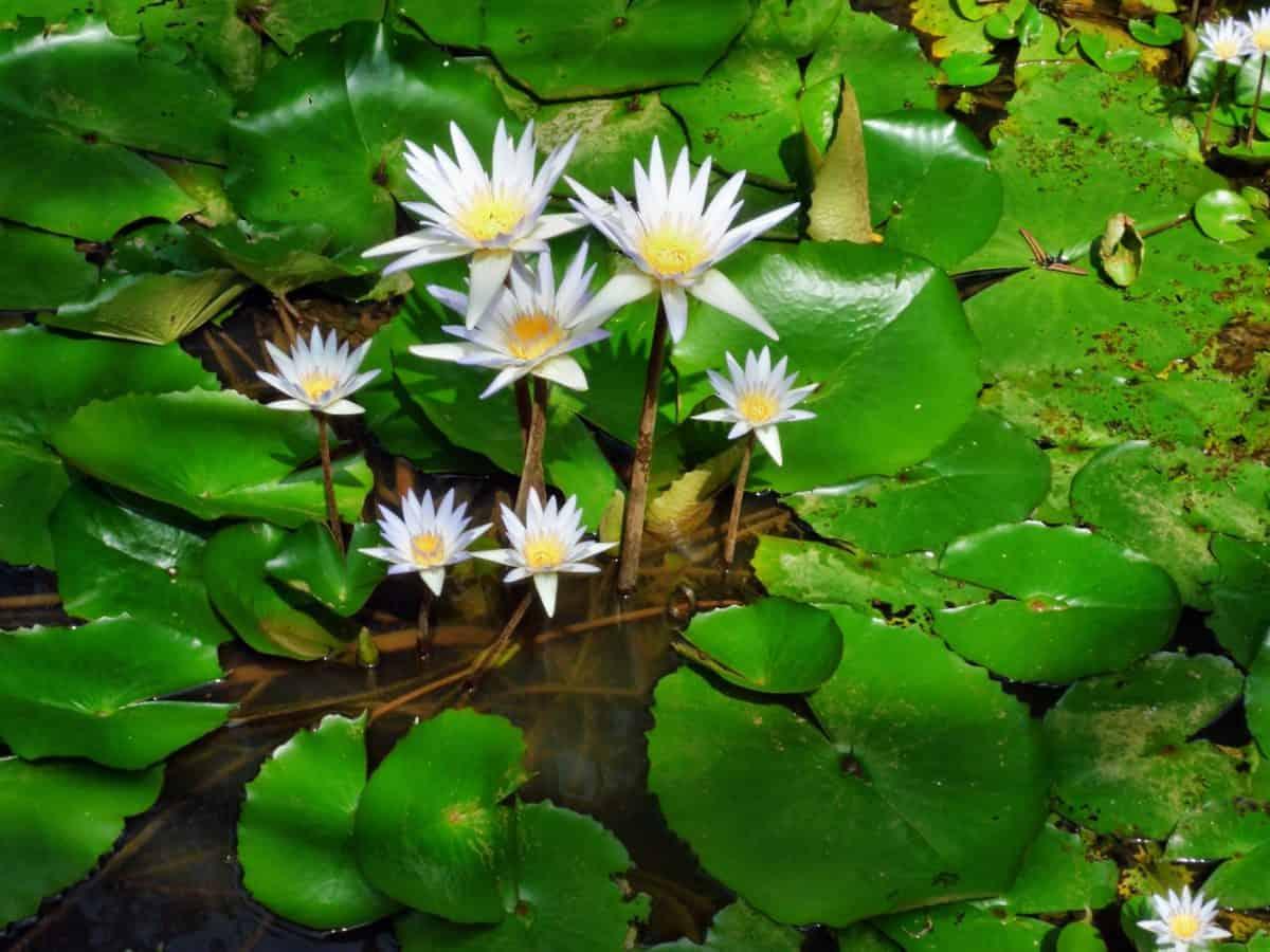 horticulture, nature, leaf, wild, garden, waterlily, flower, flora, summer, lotus