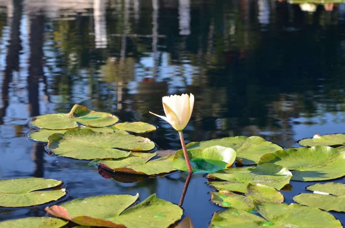 aquatic, lotus, water, nature, leaf, reflection, lake, waterlily