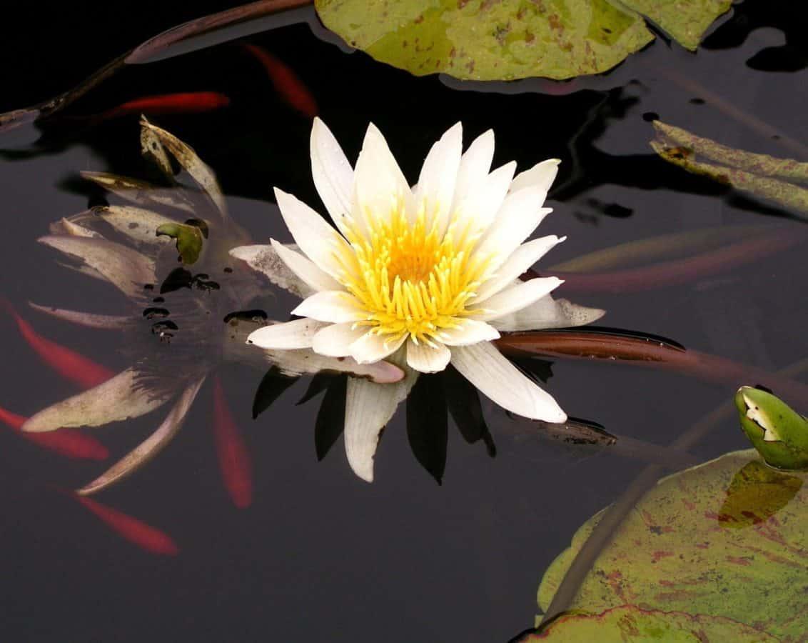 Blume, Blatt, Flora, Lilie, Sommer, Garten, weißer Lotus, Natur