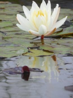 flower, water, lotus, aquatic plant, blossom, white, plant, waterlily