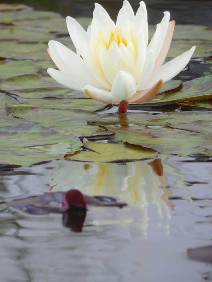 fleur, eau, lotus, plantes aquatiques, fleur, blanc, plante, nénuphar