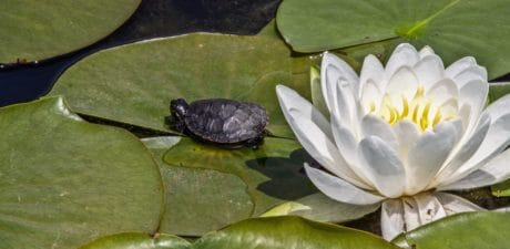 water, leaf, lotus, aquatic, flora, nature, flower, turtle, animal