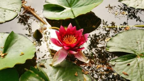 flora, nature, green leaf, flower, horticulture, aquatic, plant, blossom, lotus