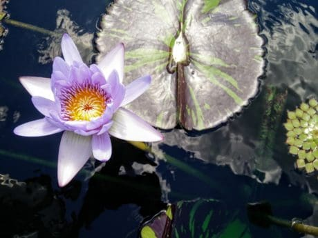 flower, waterlily, lotus, flora, aquatic, horticulture, beautiful, nature, leaf
