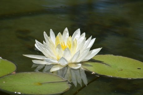 exotic, leaf, waterlily, white lotus, flower, aquatic plant, lake