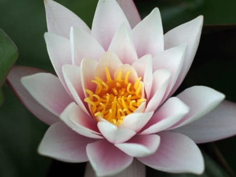 lily, exotic, macro, lotus, aquatic, leaf, waterlily, flora, flower