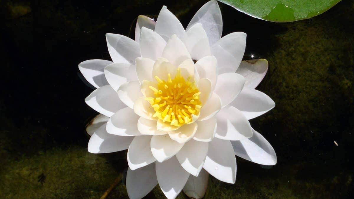 l'été, nature, fleurs sauvages, flore, aquatique, horticulture, lotus