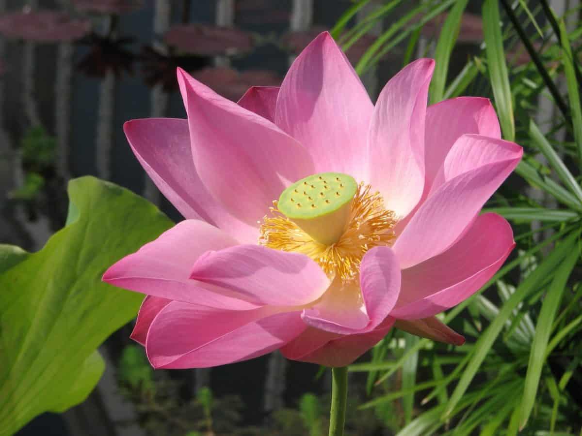 horticultura, pistilo, macro, naturaleza, jardín, flor, verano, lotus