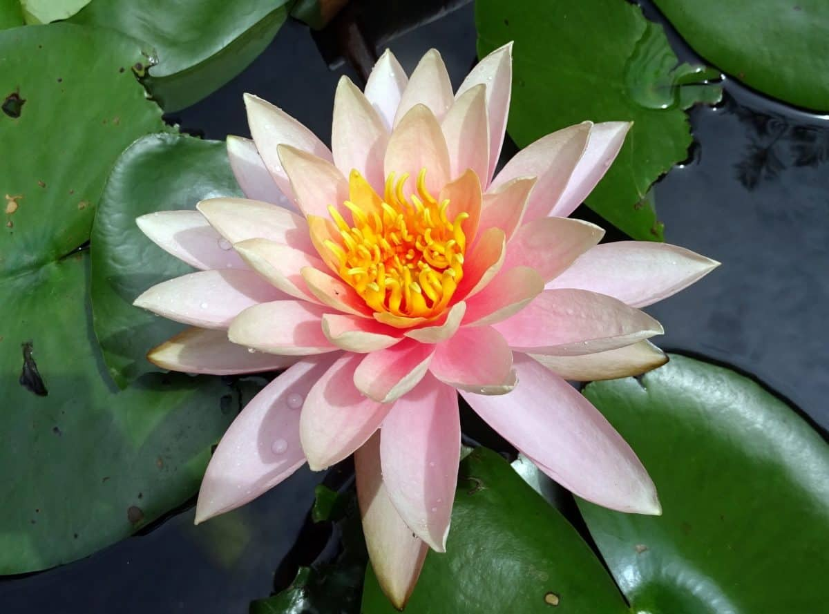 flower, lotus, flora, waterlily, exotic, lily, aquatic, green leaf