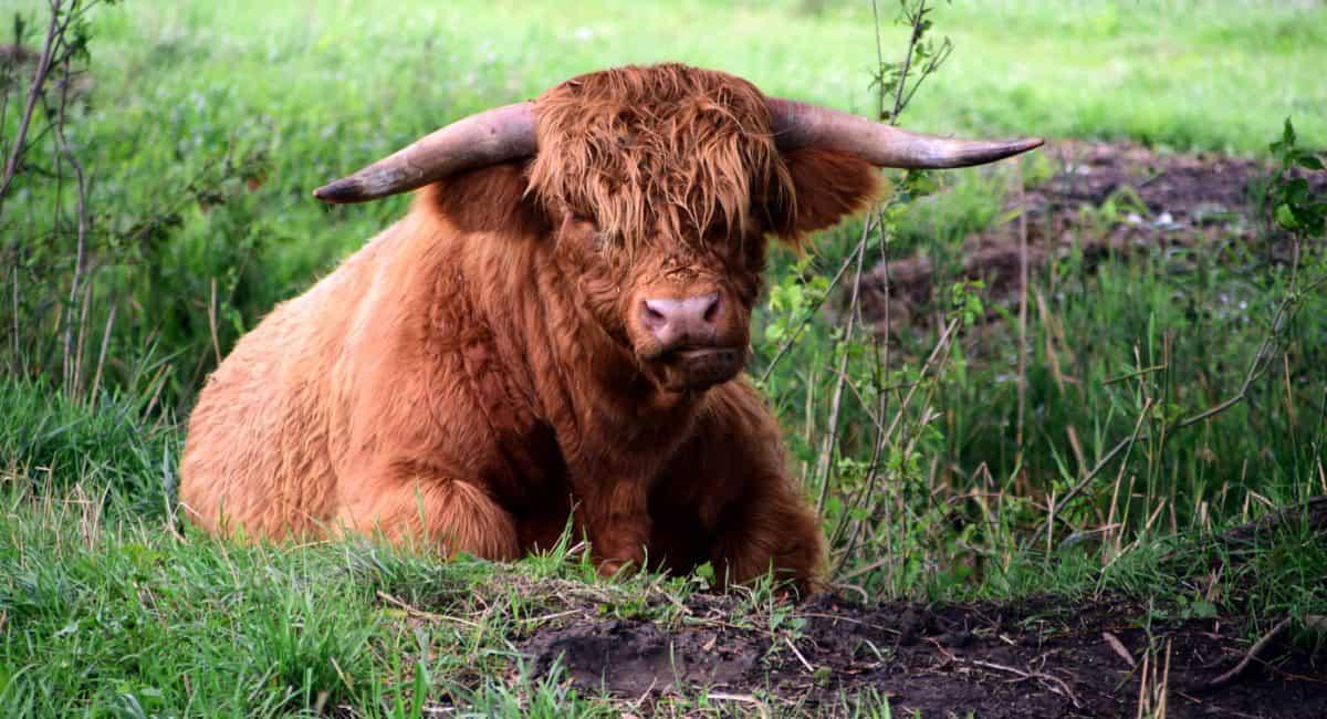 Toro animale, bestiame, marrone vertebrati, manzo,