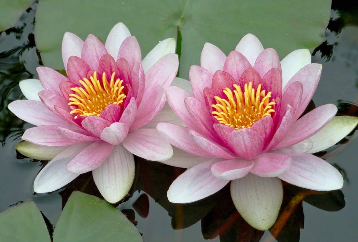 waterlily, flora, horticulture, garden, leaf, flower, aquatic, lotus