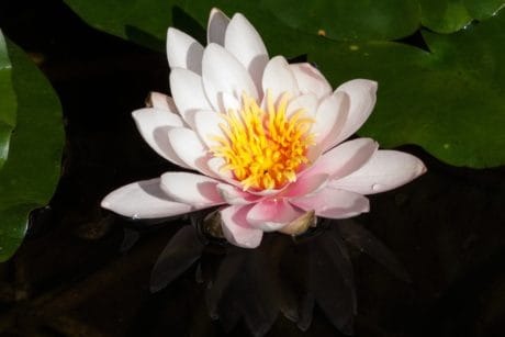 nature, wildflower, garden, petal, flora, lotus, leaf, aquatic