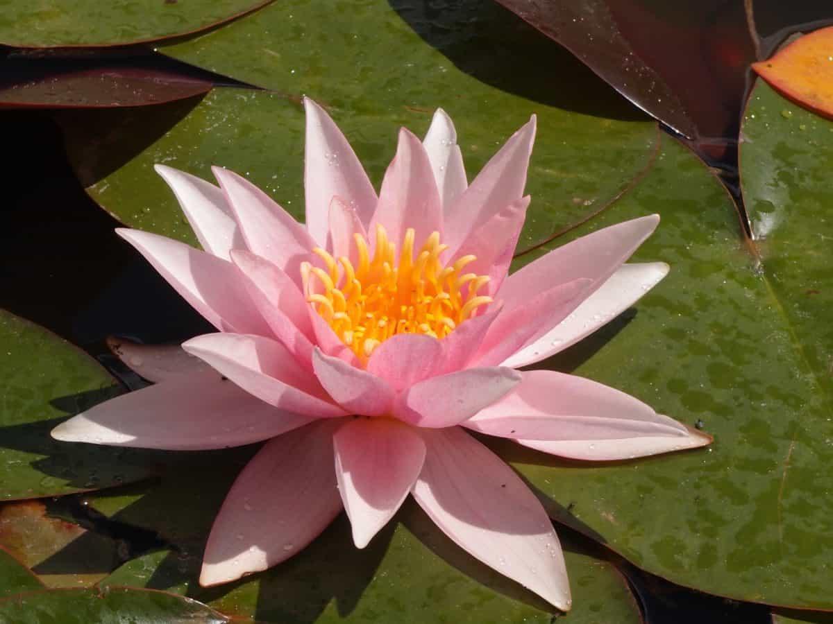 Aquatic, Lotus, Flora, Seerose, Blatt, exotisch, Blume