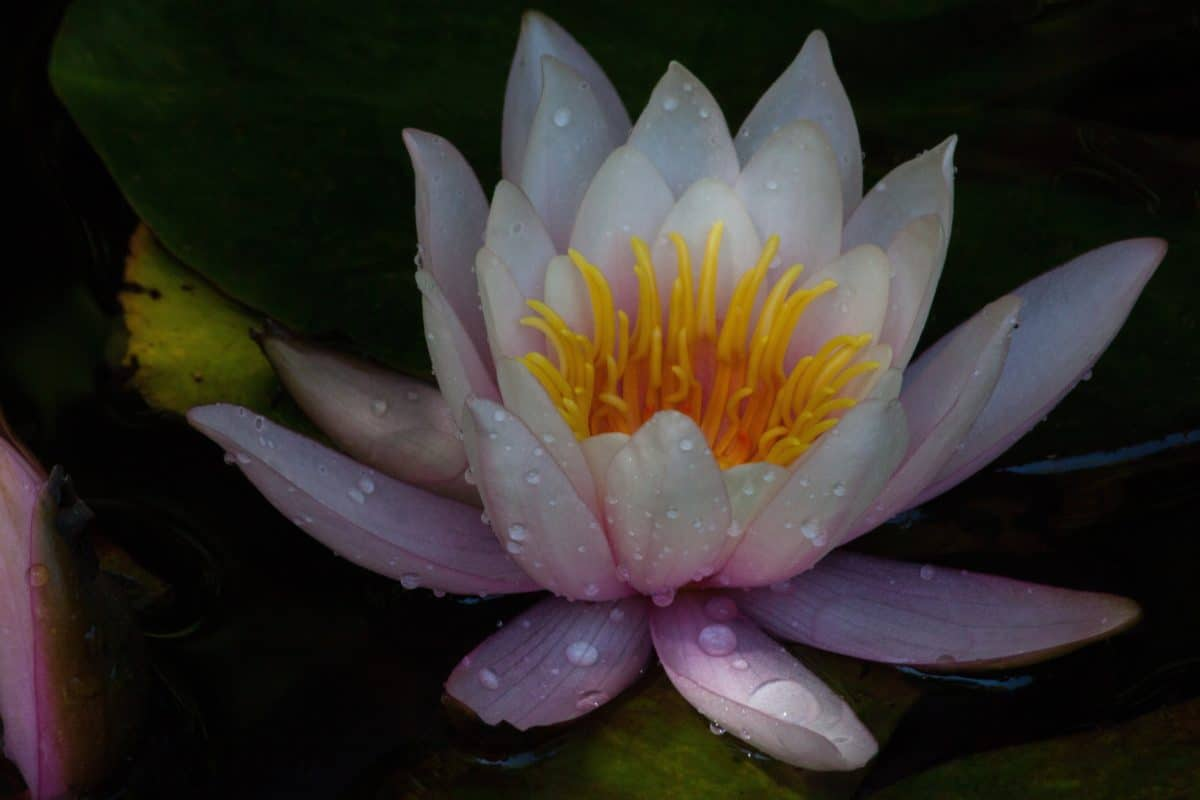 dew, shadow, aquatic, lotus, leaf, flower, waterlily, plant, blossom