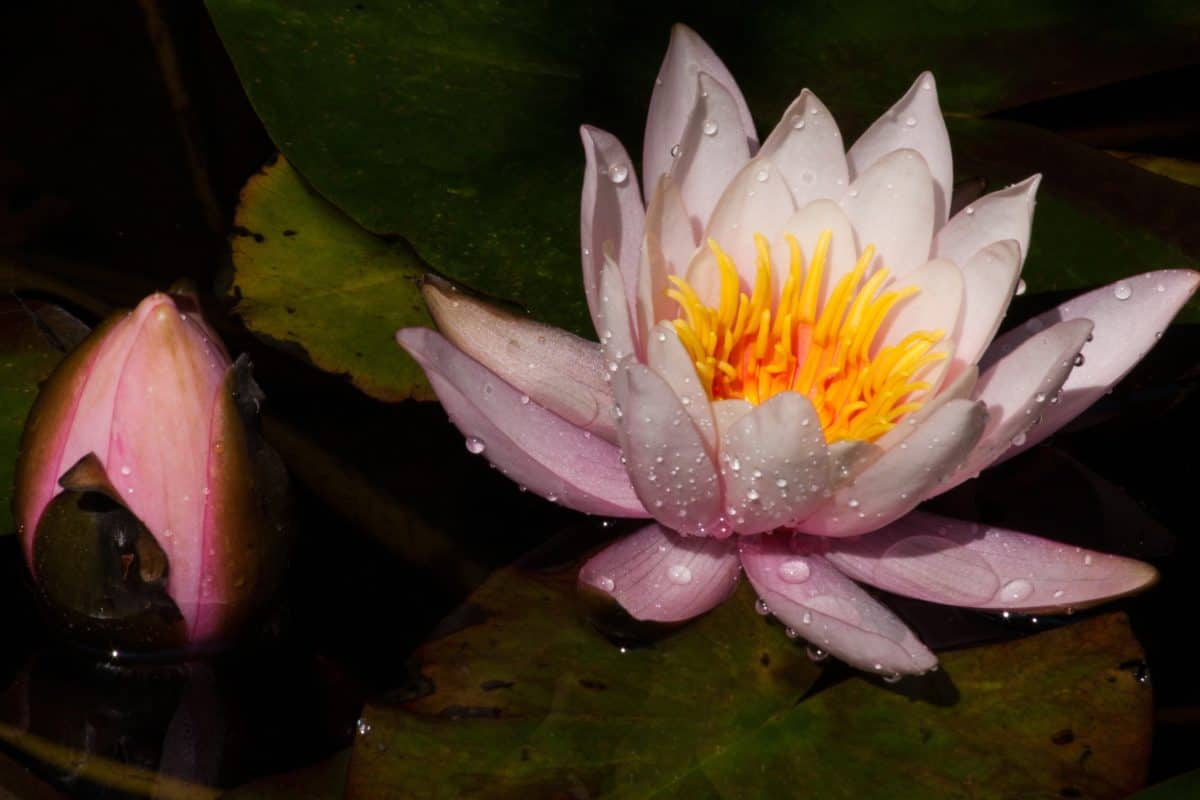 aquatic, waterlily, dew, raindrop, lotus, flower, blossom, plant, pond